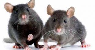 شركة مكافحة الفئران بعسفان
