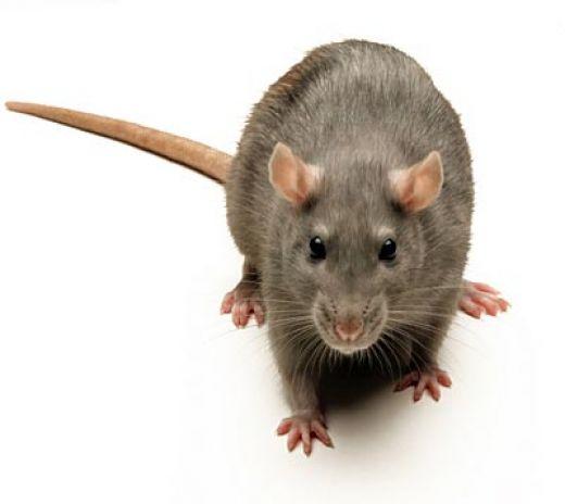 شركة مكافحة الفئران بالطائف