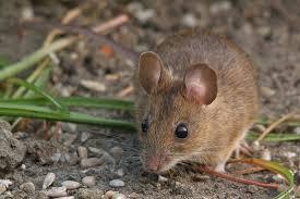 شركة مكافحة الفئران بخليص