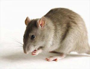 شركة مكافحة الفئران برابغ